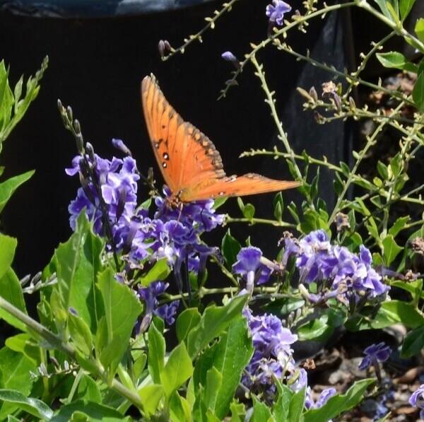 A Flor e os frutos do pingo de ouro atraem as abelhas,borboletas e pássaros