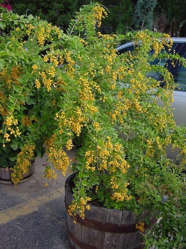 Pingo de ouro é um arbusto