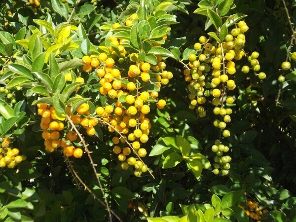 Pingo de ouro é uma planta de pleno sol