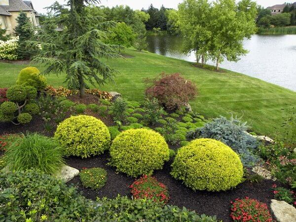 Pingo de ouro é uma planta que pode ser feito topiaria