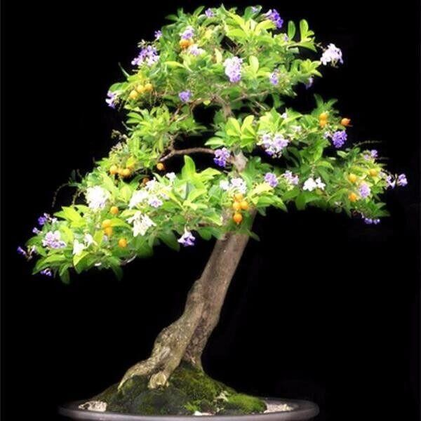 Pingo de ouro pode ser cultivado como bonsai