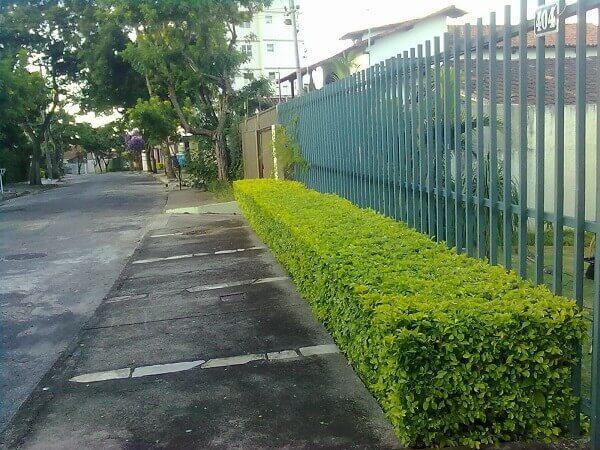 Pingo de ouro pode ser plantado na calçada