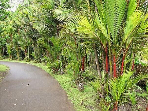 Renque de palmeiras laca ao longo do caminho