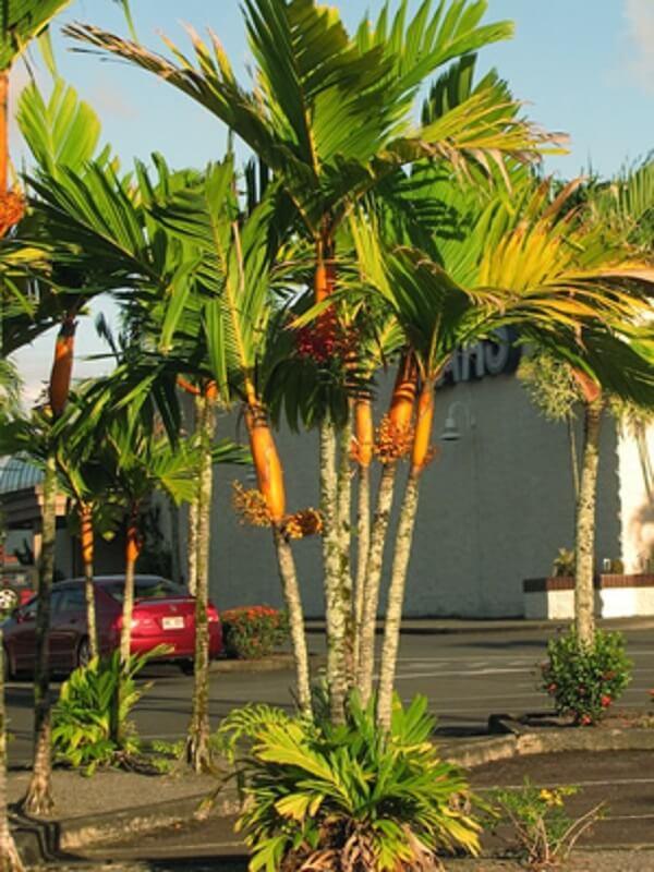 Tipos de palmeiras Areca na rua