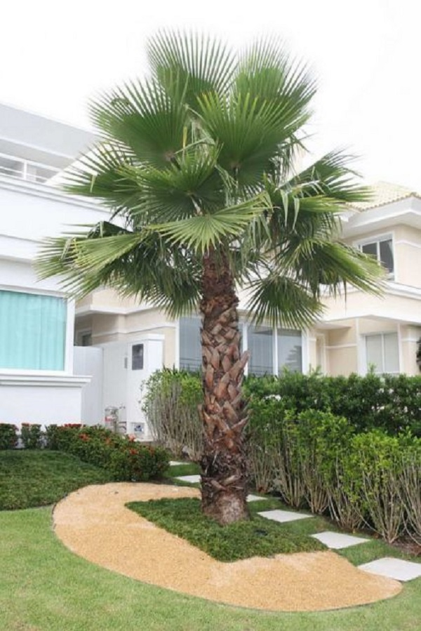 Tipos de palmeiras Palmeira Washingtonia para decoração de jardim na frente de residencial