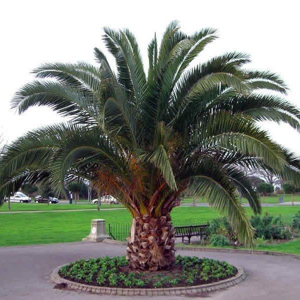 Tipos de palmeiras Tamareira em área grande