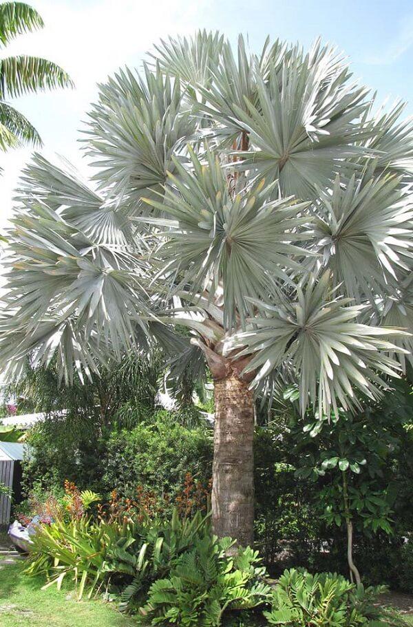 Tipos de palmeiras azul