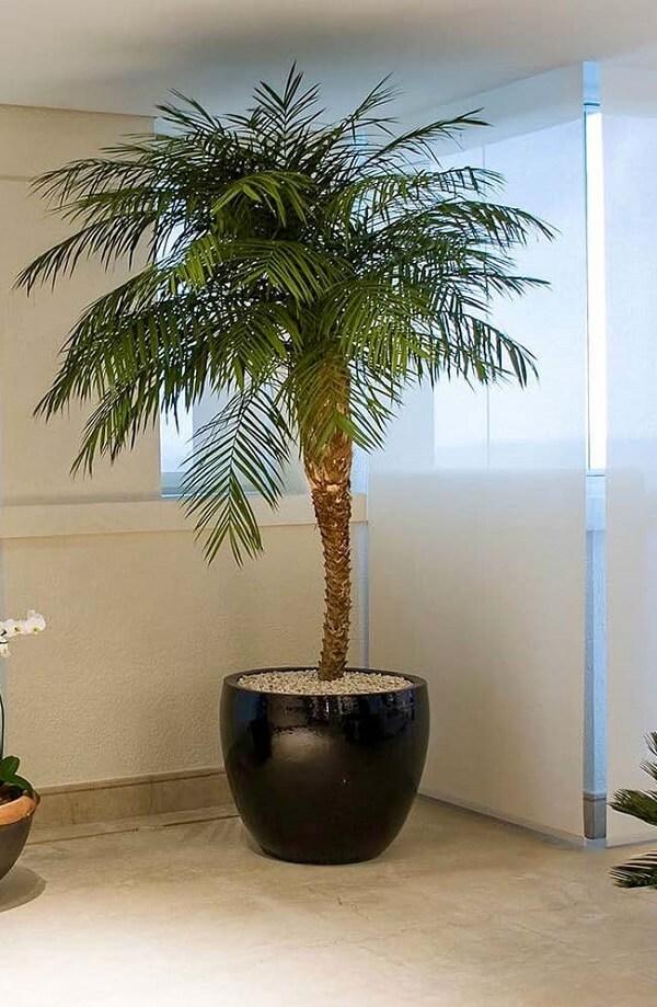 Tipos de palmeiras fênix deixa o ambiente mais sofisticado