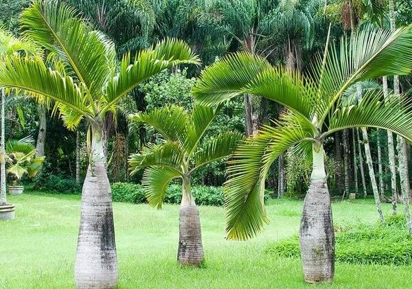 Tipos de palmeiras garrafa