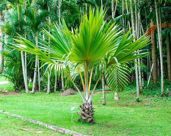 Tipos de palmeiras leque no jardim