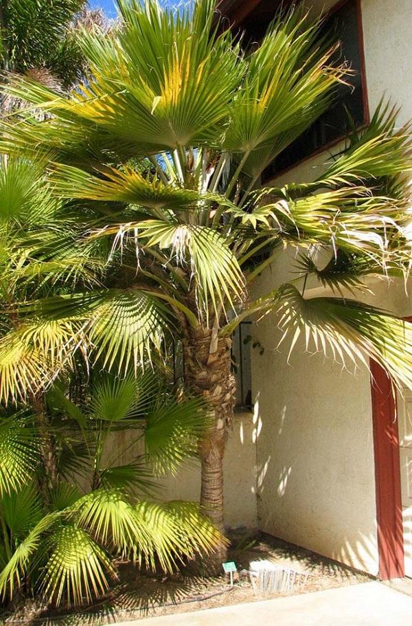 Tipos de palmeiras leque podem atrapalhar a circulação de pessoas dentro do ambiente