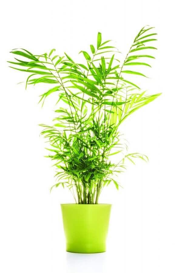 Tipos de palmeiras palmeira-bambu (Chamaedorea elegans) cultivada em vaso
