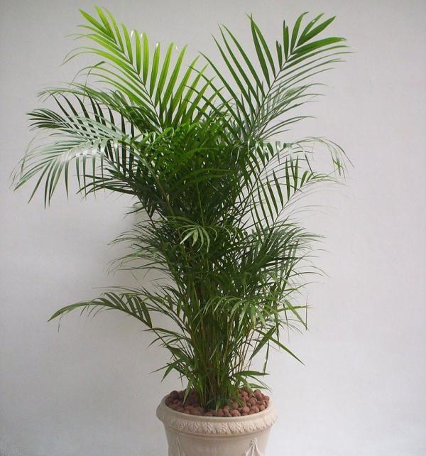 Tipos de palmeiras para vaso