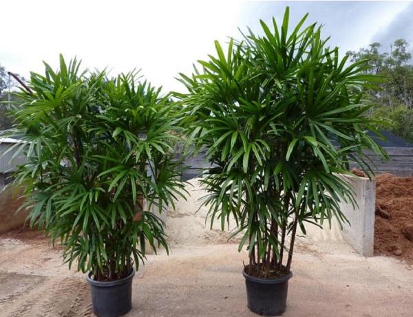 Tipos de palmeiras ráfis