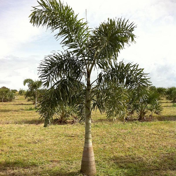 Tipos de palmeiras rabo de raposa muda