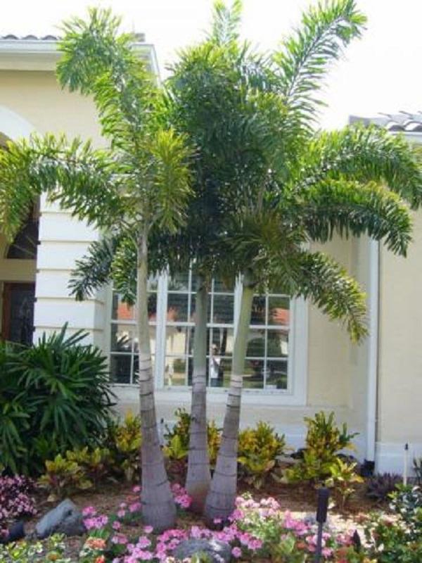 Tipos de palmeiras rabo de raposa na frente de residencia