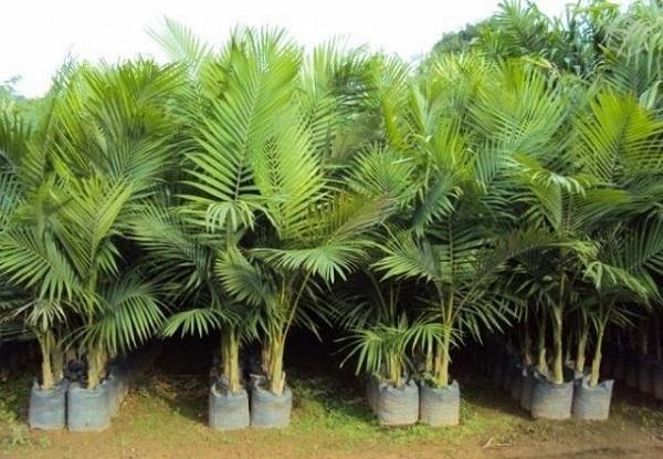 Tipos de palmeiras real para plantar