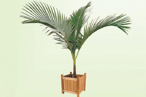 Tipos de palmeiras real