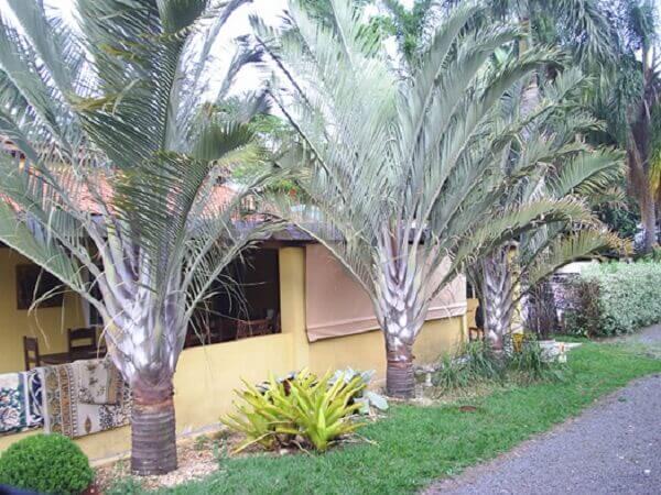 Tipos de palmeiras triângulo na decoração de frente de casa