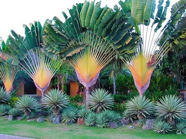 árvore-do-viajante para jardins