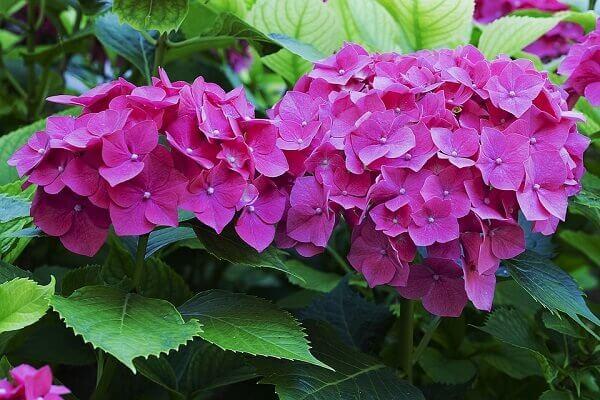 as hortênsias são plantas ornamentais que encantam qualquer lugar