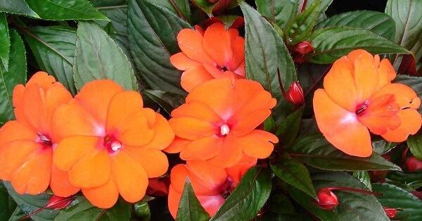 invista em plantas ornamentais como o beijo pintado