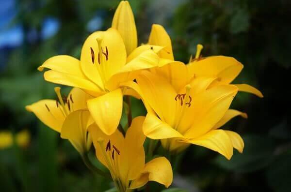 lírio amarelo é uma espécie de plantas ornamentais