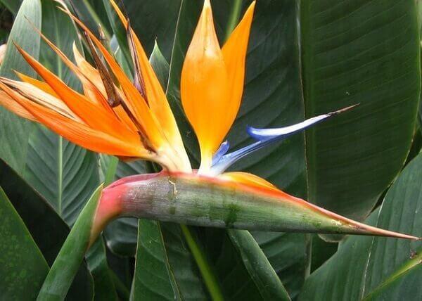Plantas ornamentais Estrelitzia