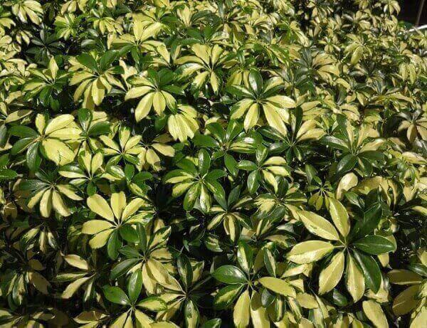 Plantas ornamentais de sombra Cheflera