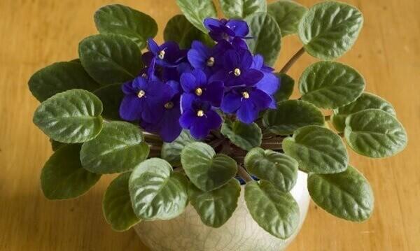 Plantas ornamentais de sombra violetas