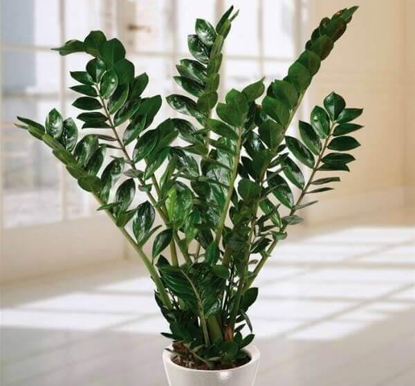 Plantas ornamentais de sombra zamioculcas