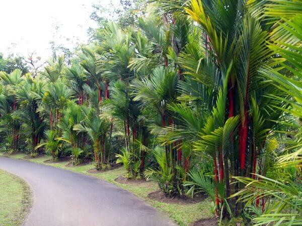 Plantas ornamentais palmeira laca