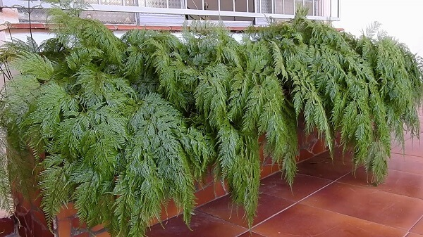 renda Portuguesa, plantas ornamentais