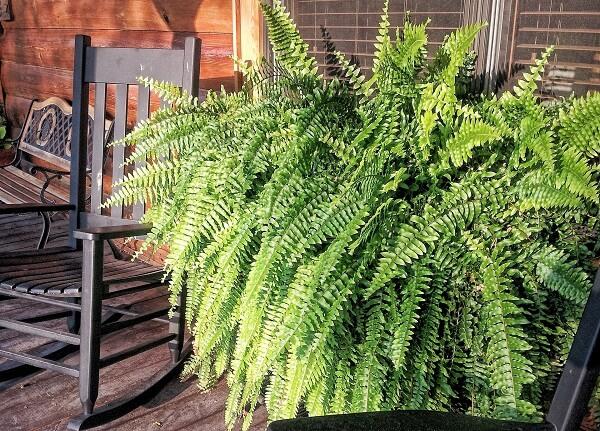 samambaia em vasos como plantas ornamentais