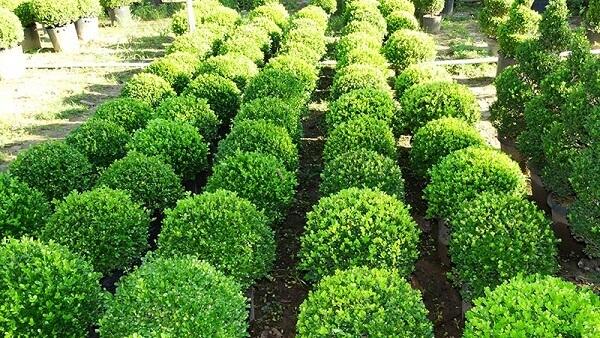 utilize buxinhos como plantas ornamentais