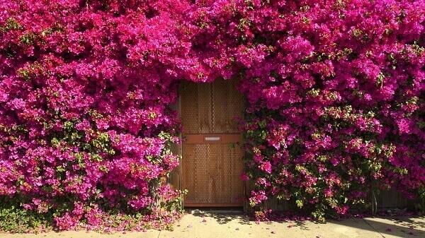 árvore primavera sobre muros e cercas