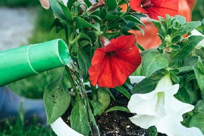 Como cultivar flores de petúnia