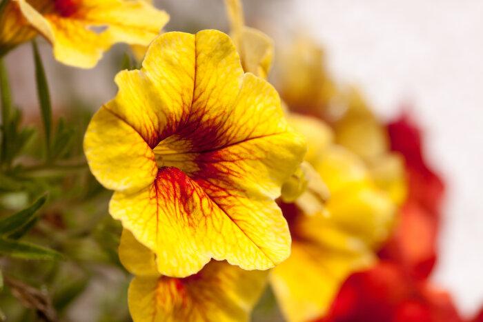 Flor de petúnia amarela com contraste em vermelho