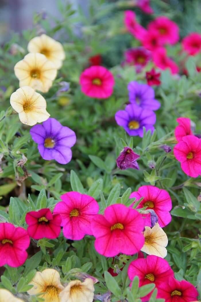 Flores de mini petúnia em diferentes tonalidades