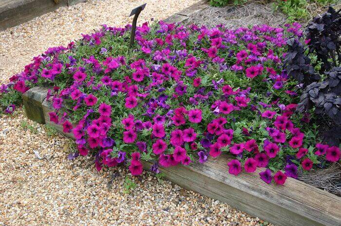 Mescle as tonalidades da petúnia no jardim