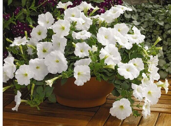 Petúnia branca cultiva em vaso de barro
