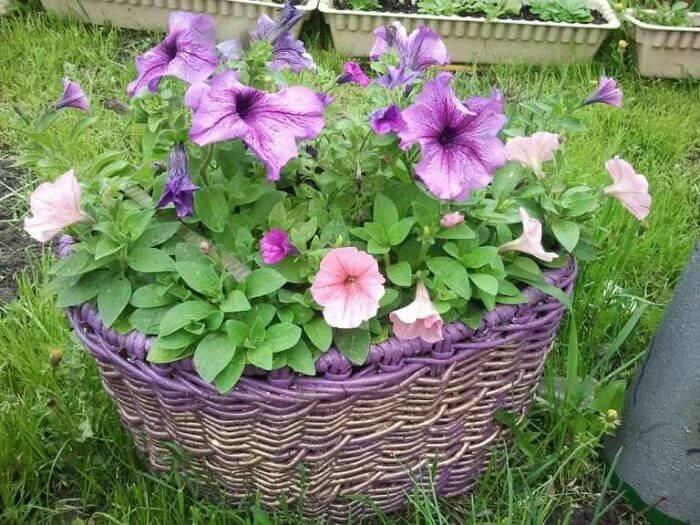 Petúnia cultivada em jardim