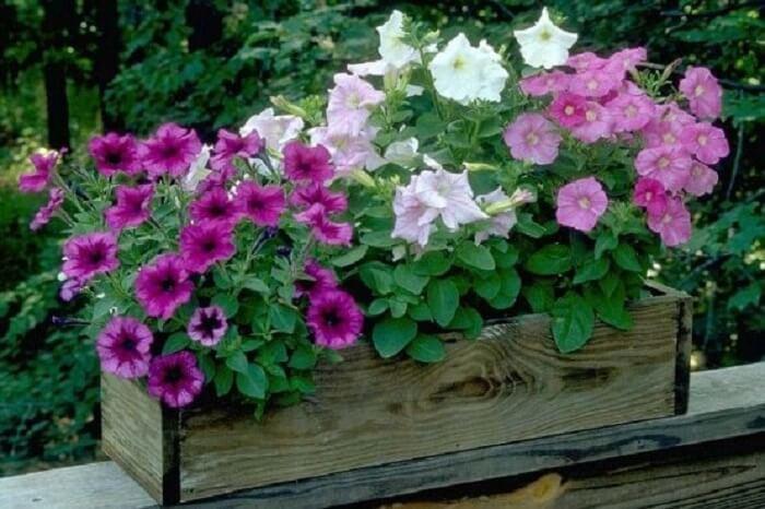 Petúnias coloridas cultivadas em caixote de madeira