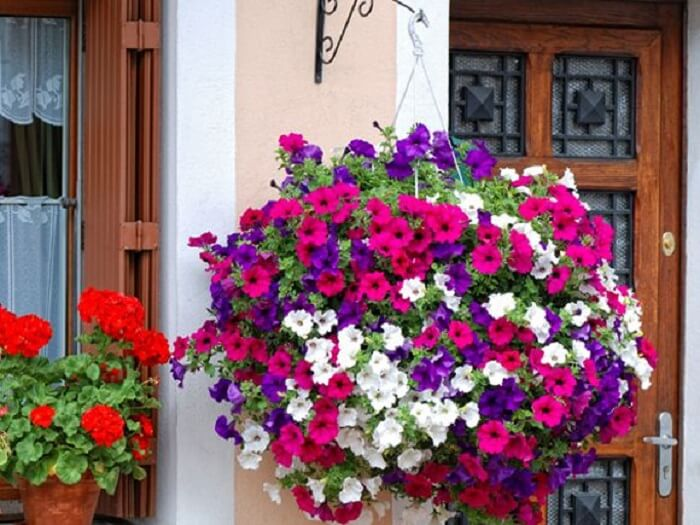 Petúnias cultivadas em vaso suspenso na fachada de casa