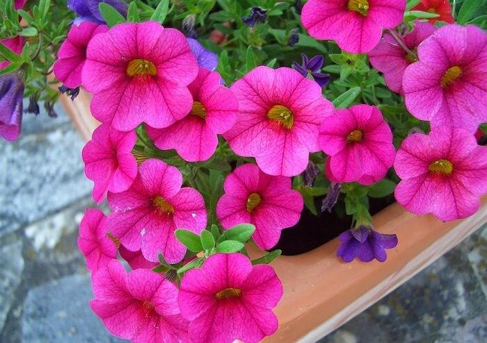 Saiba como cultivar flor de petúnia