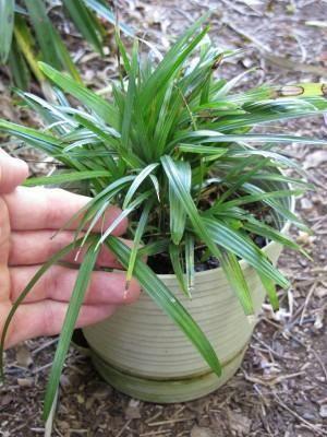 palmeira ráfia - arranjo pequeno de palmeira ráfia