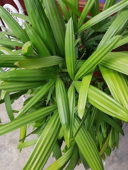 palmeira ráfia - detalhe de palmeira ráfia