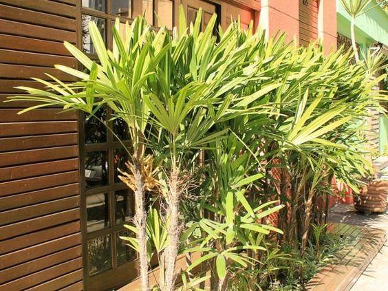 palmeira ráfia - fila de palmeira ráfia em quintal