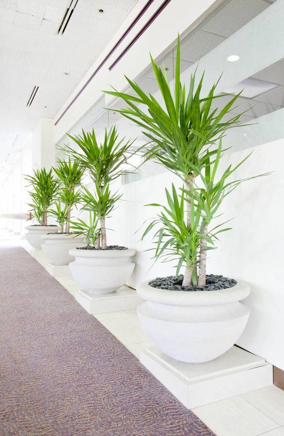 palmeira ráfia - fila de palmeira ráfia em vasos brancos