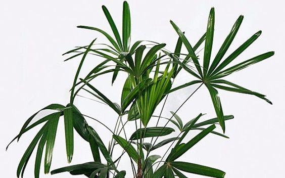 palmeira ráfia - folhas de palmeira ráfia